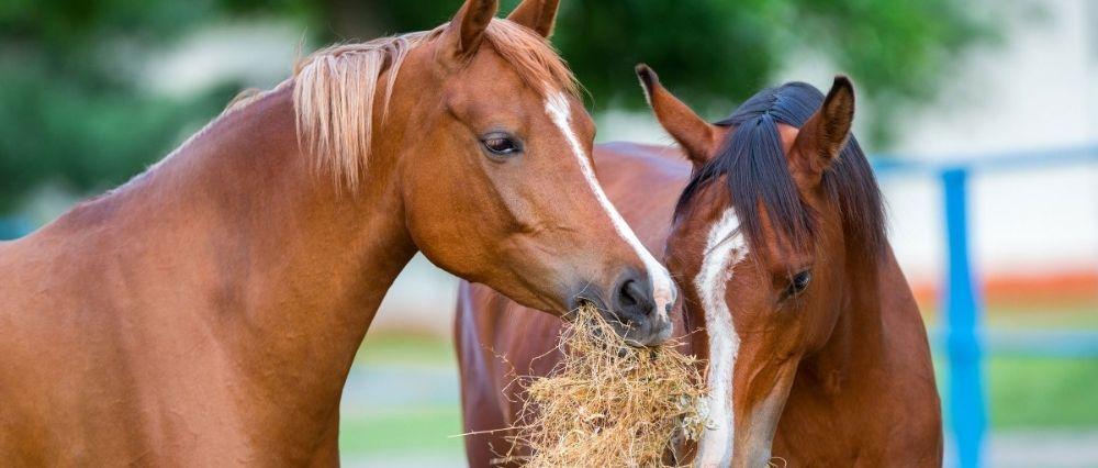 Comida y alimentación del caballo